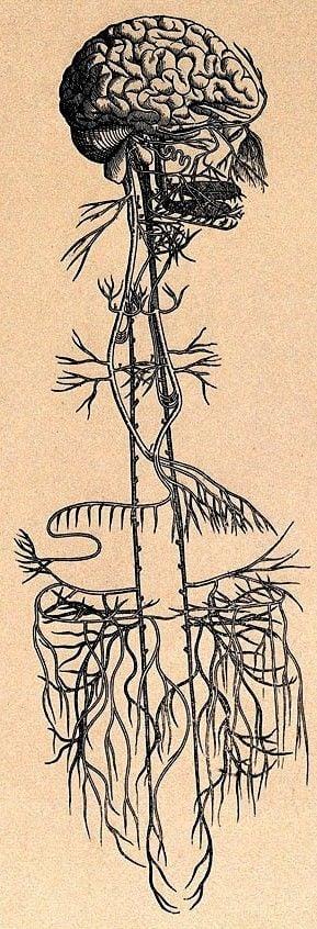 The Vagus Nerve